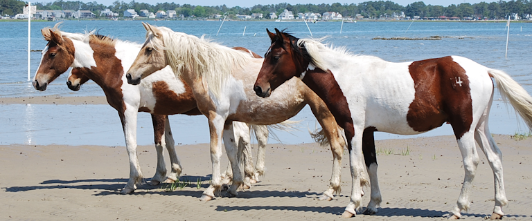 chincoteague ponies pic
